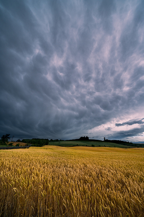 Late afternoon thunderstorm clouds brood over a ripe wheatfield near Silverton, Oregon