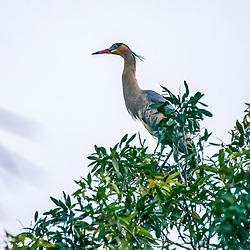 Maria-faceira (Syrigma sibilatrix) fotografado no Parque Nacional da Chapada dos Veadeiros - Goiás. Bioma Cerrado. Registro feito em 2015.<br /> ⠀<br /> ⠀<br /> <br /> <br /> <br /> <br /> <br /> ENGLISH: Whistling Heron photographed in Chapada dos Veadeiros National Park - Goias. Cerrado Biome. Picture made in 2015.