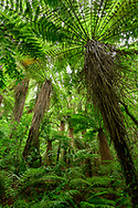 Oceania, New Zealand, Aotearoa, North Island, Tongariro National Park, rain forest,