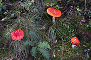 Autumn Fly Agaric mushrooms at Bodenham Arboretum on 11th October 2020 near Kidderminster, United Kingdom. Amanita muscaria, commonly known as the fly agaric or fly amanita, is native throughout the temperate regions of the Northern Hemisphere. It associates with various deciduous and coniferous trees. Arguably the most iconic toadstool species, the fly agaric is a large white-gilled, white-spotted, usually red mushroom, and is one of the most recognisable mushrooms and renowned to be poisonous.