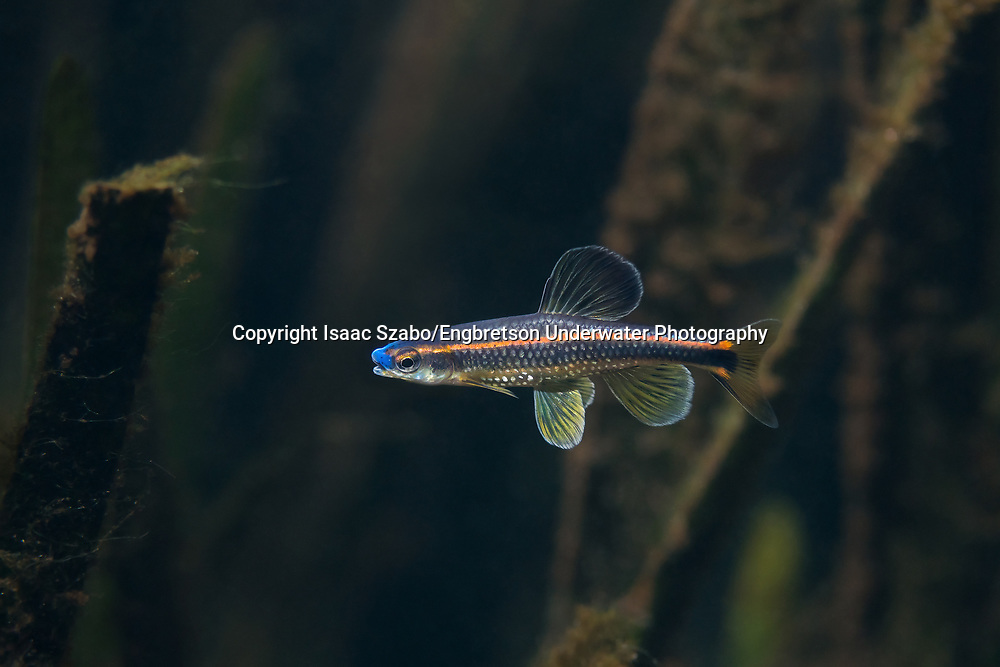 Bluenose Shiner<br /> <br /> Isaac Szabo/Engbretson Underwater Photography