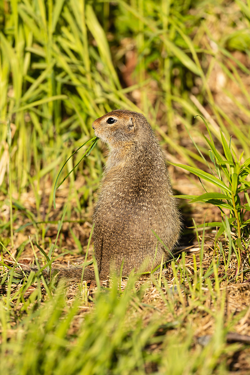 Vigilant Arctic Ground Squirrel (Spermophilus parryii) foraging on grass at Thompson Pass in Southcentral Alaska. Summer. Evening.