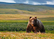 A grizzly bear in Autumn on the Alaska peninsula.