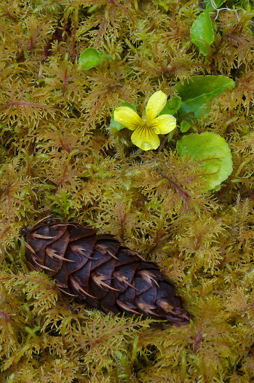 Yellow wood violet (Viola glabella), Douglas-fir cone (Pseudotsuga menziesii) and moss, lowland forest, Olympic National Forest, Washington, USA