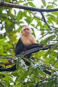 White-throated Capuchin (Cebus capucinus). Photographed in Panama
