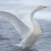 Whopper Swan, Lake Kussharo, Japan