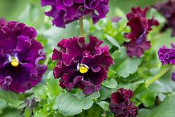 Viola x wittrockiana 'Frizzle Sizzle Burgundy' F1