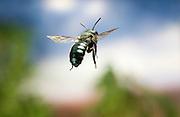 A medium sized black leafcutter bee (Megachile sp.) in flight. Prairie habitat, NE Oregon.