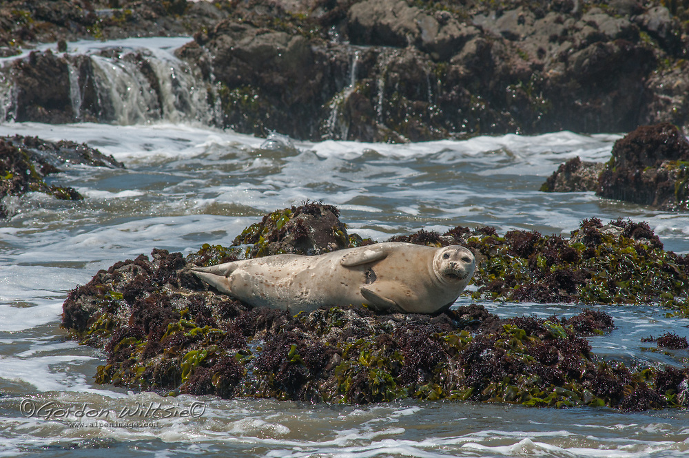 A harbor seal naps on shoreline rocks to warm its flippers after long trip in the chilly Pacific Ocean near Pescadero, California.