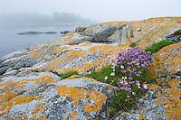 Chives (Allium schoenophrasum) in the Kanholmsfjärden.<br /> Stockholm Archipelago, Sweden