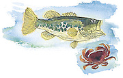 Olympic glory: Largemouth bass and Dungeness crab. (Kelly Shea / The Seattle Times)