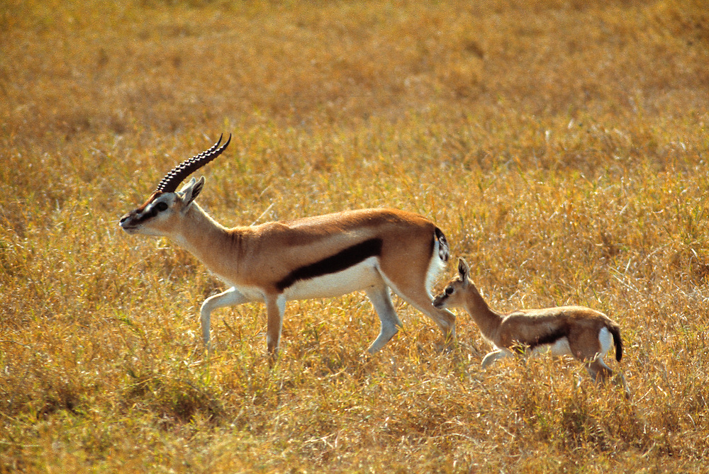 A Thomson's gazelle and her young traverse Lake Manyara National Park, Tanzania.