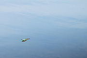 Kingfisher in flight. Poole Harbour, Dorset, UK.