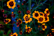 Brightly colored yellow flowers in a garden. WATERMARKS WILL NOT APPEAR ON PRINTS OR LICENSED IMAGES.