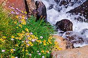 Wildflowers on the Bishop Pass Trail, John Muir Wilderness, Sierra Nevada Mountains, California USA