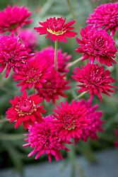 Argyranthemum madeira Double Red. Marguerite