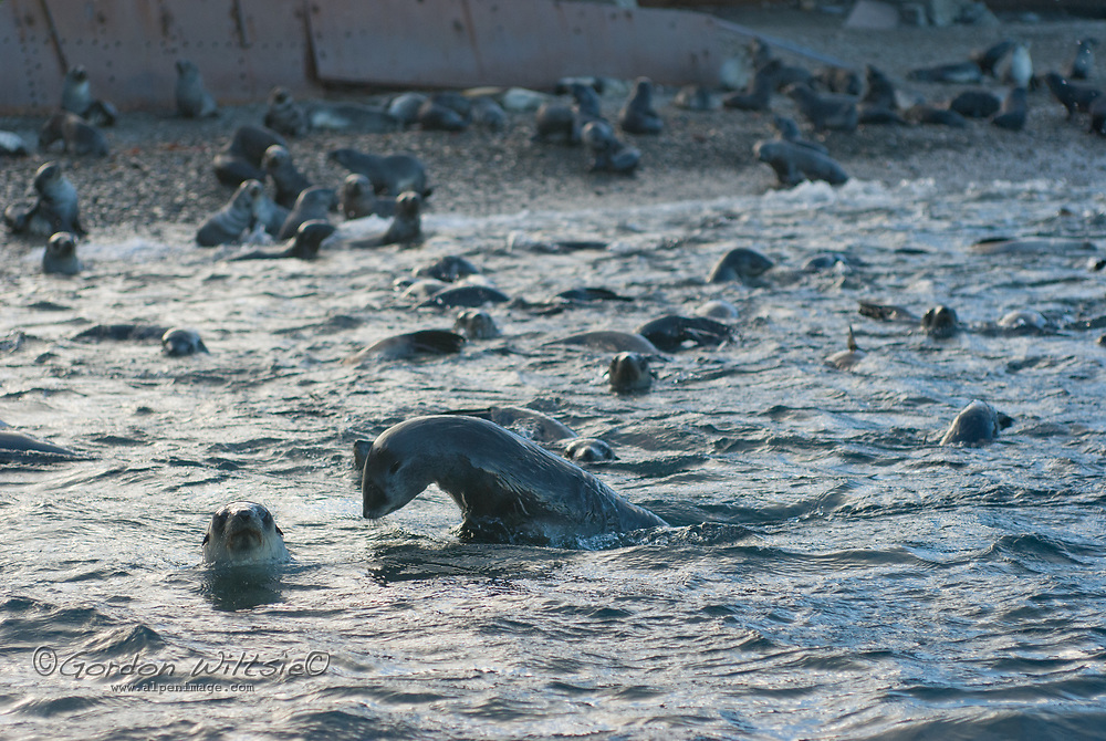 Scores of young Southern Fur Seals frolic beside an abandoned British whaling station at Stromness Bay, South Georgia, Antarctica.