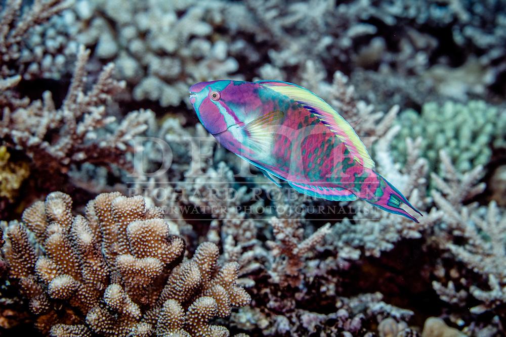 Scarus longipinnis (Highfin Parrotfish) terminal phase male, Walpole Island, New Caledonia. <br /> 29 July, 2017<br /> Photograph Richard Robinson © 2017