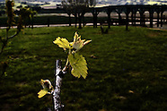 Vines ~ Arroyo Seco AVA