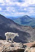 Mountain goat near summit of Mt. Evans, Colorado