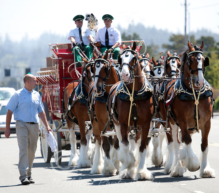 World Famous Clydesdales coming down the street