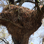 Hamerkop nest. Timbavati Game Reserve, South Africa.