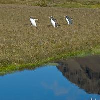 Gentoo Penguins walk through a meadow by a pond near Stromness Bay, South Georgia, Antarctica.
