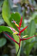 Heloconia, flower, Machu Picchu Pueblo Hotel, Machu Picchu, Pueblo, Aguas Calientes,  Cusco Region, Urubamba Province, Machupicchu District, Peru