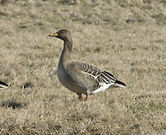 Bean Goose - Anser fabalis - tundra race - ssp fabalis.
