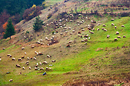 Large herd of sheep grazing on a green meadow