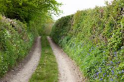 Devon lane lined with bluebells, Stitchwort and Red campion. Hyacinthoides non-scriptus, Stellaria holostea, Silene dioica
