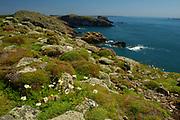 Skomer coast, Pembrokeshire, Wales, rocky coatline, sea, flowers