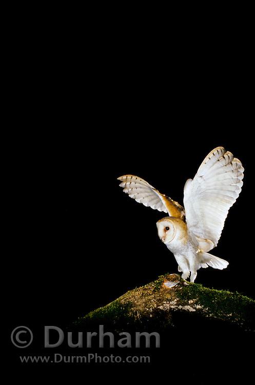A wild barn owl (Tyto alba) photographed on the Sauvie Island State Wildlife Refuge, Sauvie Island, Oregon.