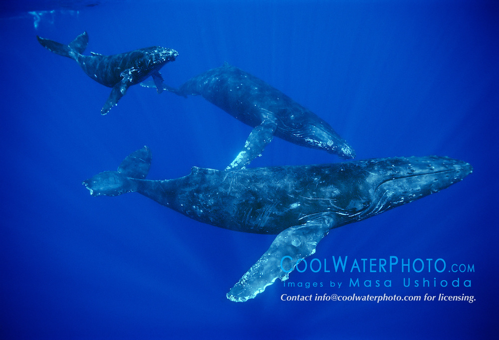humpback whales, Megaptera novaeangliae, mother with mutilated fluke and calf, accompanied by escort, Hawaii, USA, Pacific Ocean