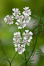 Coriander flower - Coriandrum sativum