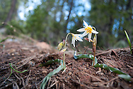 Sierra Fawnlily (Erythronium multiscapoideum) blooming in early spring in the Northern Sierra Mountains of California.
