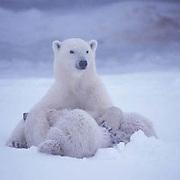 Polar Bear, (Ursus maritimus) Mother nursing cubs. Churchill, Manitoba. Canada.