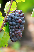 Bunches of ripe grapes. Gamay. Domaine Tracot Dubost, Beaujolais, France