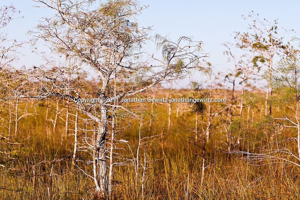 Dwarf bald cypress trees in Everglades National Park, Florida. WATERMARKS WILL NOT APPEAR ON PRINTS OR LICENSED IMAGES.