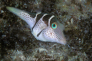 black-saddled toby or pufferfish, Canthigaster valentini, has toxic skin, is mimicked by non-toxic mimic leatherjacket, Paraluteres prionurus, Layang Layang Atoll, Malaysia <br /> ( South China Sea )