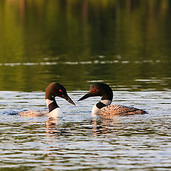 Common loons, Gavia immer, on White Lake in Tamworth, New Hampshire.