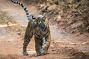 Wild Bengal tiger walking down a road, Ranthambore National Park, Rajasthan, India