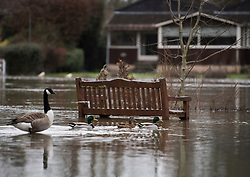 © Licensed to London News Pictures. 03/02/2021. Egham Hythe, UK. Geese and ducks sit next to a park bench at Egham Hythe in Surrey where the River Thames has broken it's banks. Large parts of the UK experience more wet conditions which is expected to bring further flooding. Photo credit: Ben Cawthra/LNP
