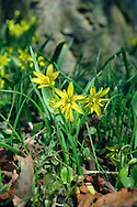 YELLOW STAR-OF-BETHLEHEM Gagea lutea (Liliaceae) Height to 15cm. Delicate perennial that grows damp woodland, often on calcareous or heavy soils. Easily overlooked when not in flower. FLOWERS are 2cm across, yellow and star-like; borne in umbel-like clusters of 1-7 flowers (Mar-May). FRUITS are 3-sided capsules. LEAVES comprise a single, narrow basal leaf with a hooded tip and 3 distinctly ridged veins. STATUS-Local and generally scarce; least uncommon in central England.