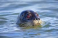 A harbor seal (Phoca vitulina) pops its head above water in Elkhorn Slough - Moss Landing, California.