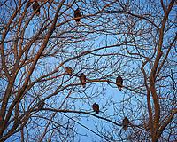 Eight Turkey Vulture in a tree.  Image taken with a Fuji X-T1 camera and 100-400 mm OIS lens (ISO 200, 100 mm, f/5.6, 1/140 sec)