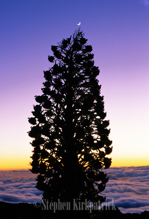 Silversword and crescent moon above clouds at sunset - Haleakala N.P., Maui.