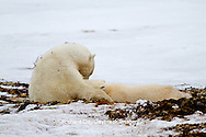 01874-12507 Polar bears (Ursus maritimus) mother nursing cub, Churchill Wildlife Management Area, Churchill, MB Canada
