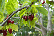 Ripe Cherries on a tree in a cherry orchard. Photographed in Cyprus