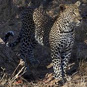 Leopard, Malamala, Game Reserve, South Africa.